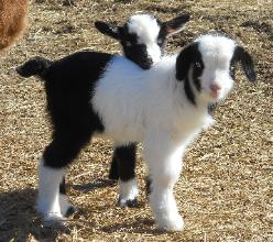 GREEN PASTURES Fainting Goats and Miniature Silky Fainters